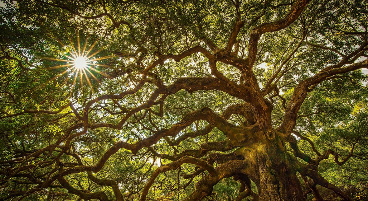 The History of Charleston's Angel Oak Tree